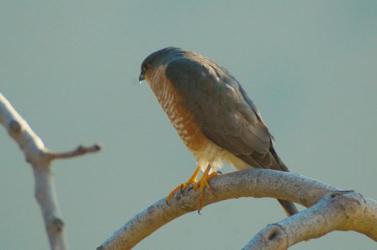Kestrel in the fig tree